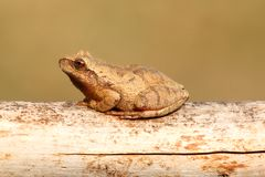 Spring Peeper (Pseudacris crucifer). On a log with a green background Royalty Free Stock Photos