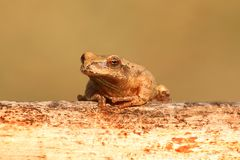 Spring Peeper (Pseudacris crucifer). On a log with a green background Stock Photos