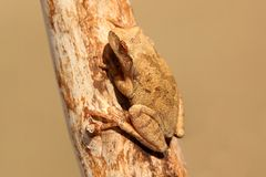 Spring Peeper (Pseudacris crucifer). On a log with a green background Stock Photo