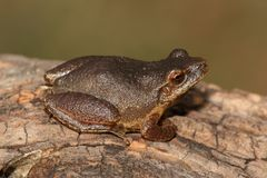 Spring Peeper Pseudacris crucifer. On a log with a green background Royalty Free Stock Photography