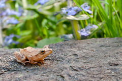 Spring Peeper. Resting on a rock in the garden Royalty Free Stock Photography