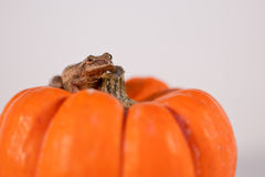Spring Peeper sitting on a Pumpkin Royalty Free Stock Image