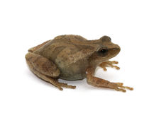 Spring Peeper Royalty Free Stock Photography