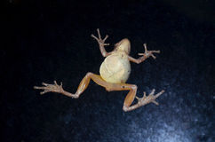 Spring Peeper tree frog. A spring peeper tree frog on window glass Stock Image