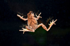 Spring Peeper tree frog. A spring peeper tree frog on window glass Royalty Free Stock Photography