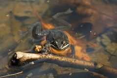 Spring Peeper3 royalty free stock photography