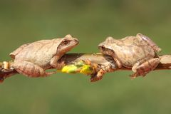 Spring Peepers (Pseudacris crucifer). On a branch with a green background Royalty Free Stock Image