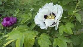 In the spring of peony. Peony is acclaimed as the king of flowers, the very rich culture and paintings. She is a specialty of Chinese inherent flowers, have one Stock Photos