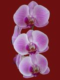A spring of perfect pink orchids. Against a red background royalty free stock image