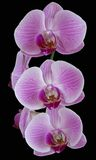 A spring of perfect pink orchids  Royalty Free Stock Photos