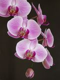 A spring of perfect pink orchids. Against a black background stock photo