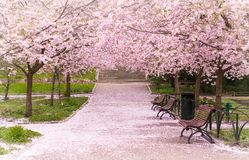 Hanami celebration in the little garden with the cherry tree avenue Stock Photo