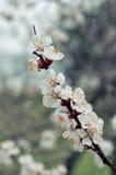 Spring photos, apricot branch closeup. Royalty Free Stock Photography