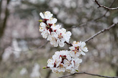Spring photos, apricot branch with small white flowers Stock Images