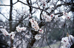 Spring photos, apricot branch with small white flowers Royalty Free Stock Image