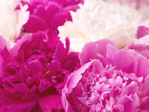 Spring pi-mesons flowers Stock Image
