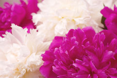 Spring pi-mesons flowers Royalty Free Stock Photo