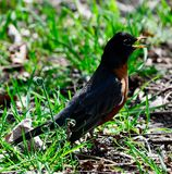 American Robin at Montrose Harbor. This is a Spring picture of an American Robin at Montrose Harbors locates in Chicago, Illinois in Cook County.  The American Royalty Free Stock Photos