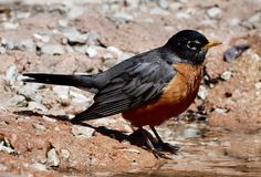 American Robin. This is a Spring picture of an American Robin at a pool of water in Lincoln Park located in Chicago, Illinois in Cook County. The American Robin Stock Image