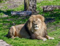 Male African Lion #4. This is a Spring picture of a male African Lion in its enclosure at the Lincoln Park Zoo located in Chicago, Illinois in Cook County.  This royalty free stock photography