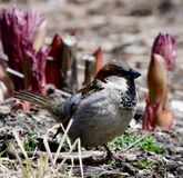 Male House Sparrow. This is a Spring picture of a male House Sparrow searching for food on the ground in Lincoln Park located in Chicago, Illinois in Cook County Royalty Free Stock Photos