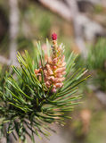 Spring pine cones Royalty Free Stock Images