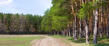 Spring pine forest. Near the meadow on a sunny day,panorama stock photos