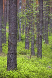 Spring pine forest. With dense bushes of blueberries.vertical frame Royalty Free Stock Images