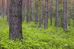Spring pine forest. With dense bushes of blueberries Stock Photos