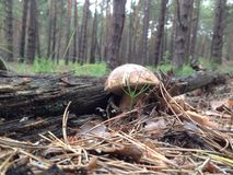 Spring pine forest. Cep hid in moss royalty free stock image