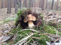 Spring pine forest. Cep hid in moss royalty free stock photography