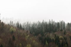 Spring pine forest in fog with snow on the tops stock image