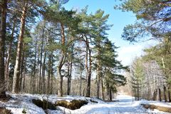 Spring in a pine forest melts snow cover in the glades near the trees and on the edges of the forest. Spring in the forest period awakening from winter sleep stock images