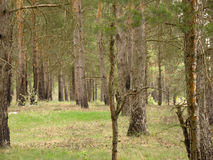 Spring Pine Forest Royalty Free Stock Image