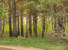 Spring Pine Forest Royalty Free Stock Images