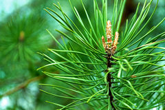 Spring pine needles Stock Photo