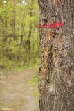 Spring pine tree trunk painted with red stripe. Royalty Free Stock Photo