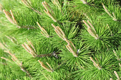 Spring Pines Stock Photos