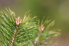 Spring pines Stock Images