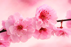 Spring in pink. Fresh, spring tree blossoms on pink background stock photos