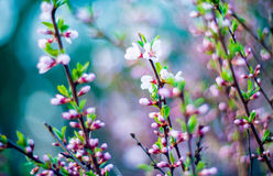 Spring pink blooming. Blooming tree flowers in pink spring season of nature beauty Royalty Free Stock Photography