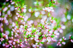 Spring pink blooming. Blooming tree flowers in pink spring season of nature beauty Stock Images