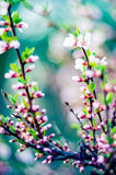 Spring pink blooming. Blooming tree flowers in pink spring season of nature beauty Stock Photography