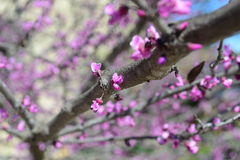 Spring pink blooms on tree Royalty Free Stock Images
