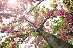 Spring pink blossom Stock Images
