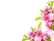 Spring pink blossom Royalty Free Stock Images