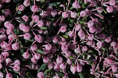 Spring pink buds texture of bog-rosemary Andromeda Polifolia Stock Photography
