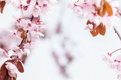 Spring cherry blossoms. Spring pink cherry blossom on blue background Royalty Free Stock Images
