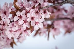 Spring cherry blossoms. Spring pink cherry blossom on blue background Royalty Free Stock Image