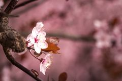 Spring cherry blossoms. Spring pink cherry blossom on pink background Royalty Free Stock Photography